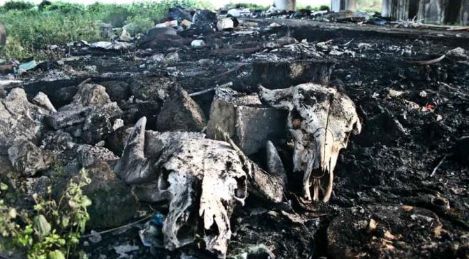 Terra dei Fuochi, a Castel Volturno un cimitero di bufale